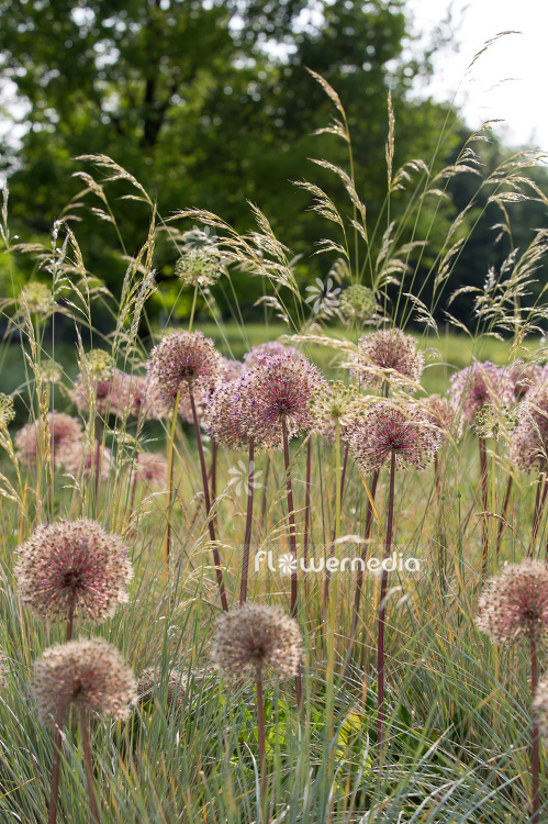 Allium with grasses (107290)