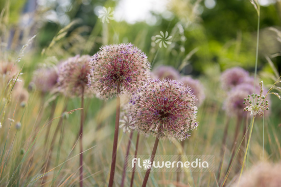 Allium with grasses (107291)
