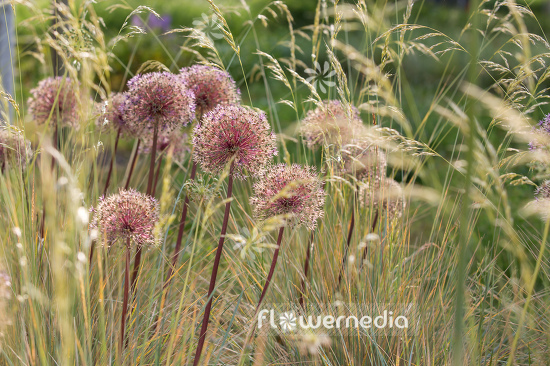 Allium with grasses (107292)