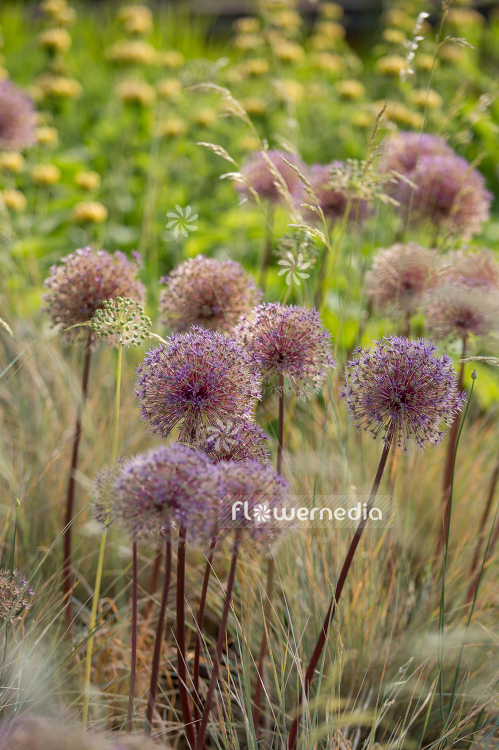 Allium with grasses (107293)