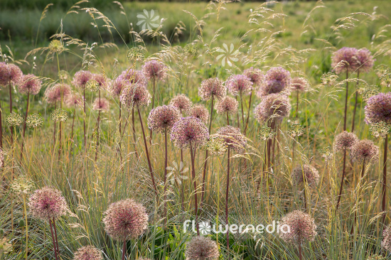 Allium with grasses (107294)