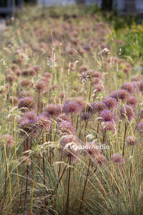 Allium with grasses (107297)