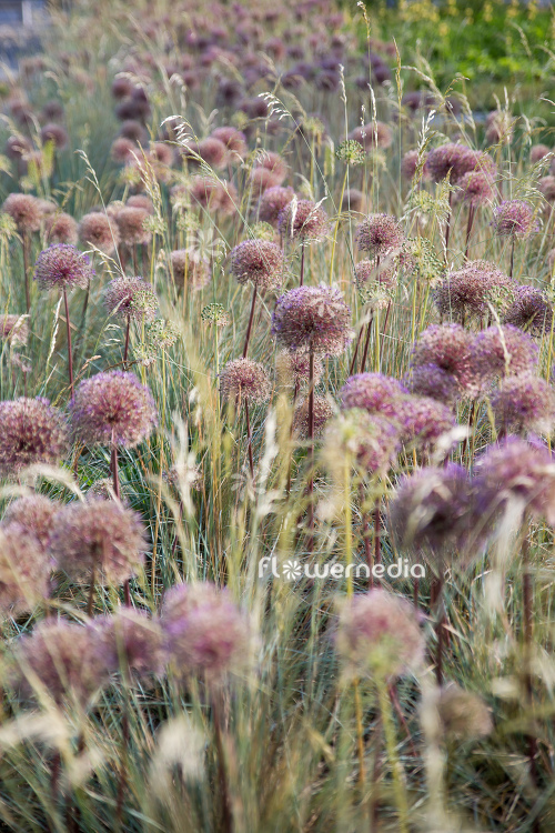 Allium with grasses (112890)
