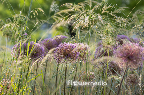 Allium with grasses (112891)