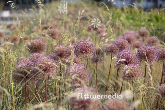 Allium with grasses (112893)