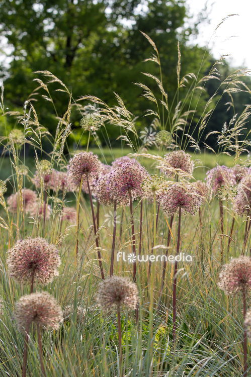 Allium with grasses (112894)