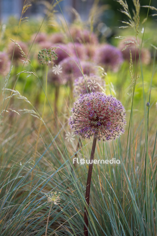 Allium with grasses (112895)