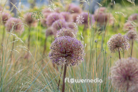 Allium with grasses (112896)