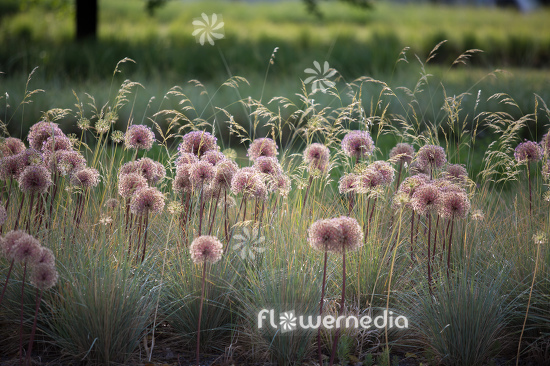 Allium with grasses (112897)