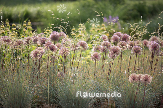 Allium with grasses (112899)