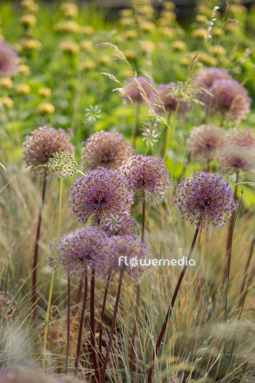 Allium with grasses (112901)