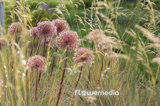 Allium with grasses (112902)