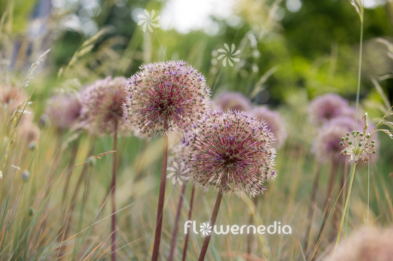 Allium with grasses (112903)