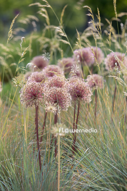 Allium with grasses (112904)