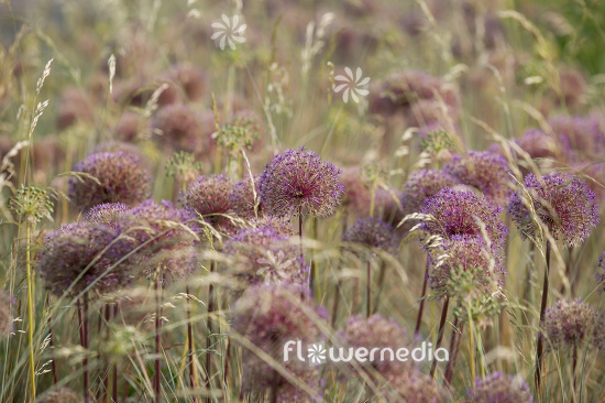 Allium with grasses (112905)