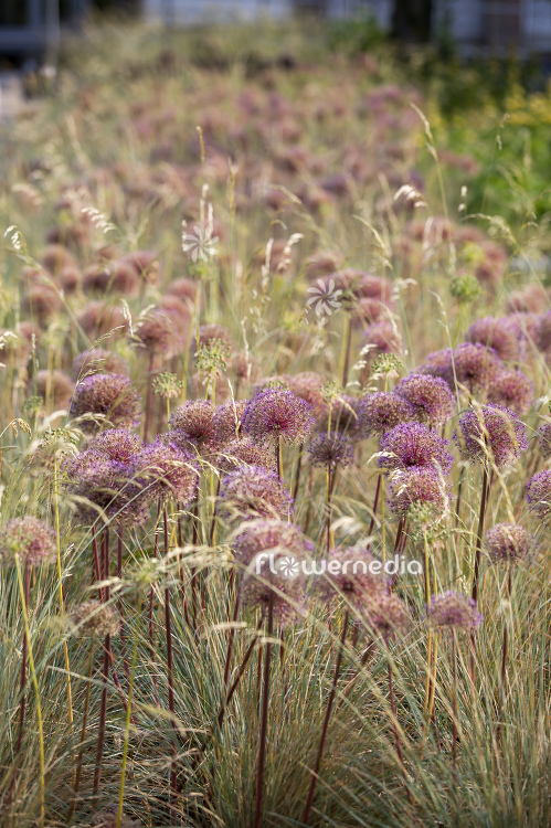 Allium with grasses (112906)