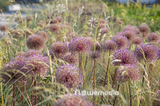 Allium with grasses (112907)