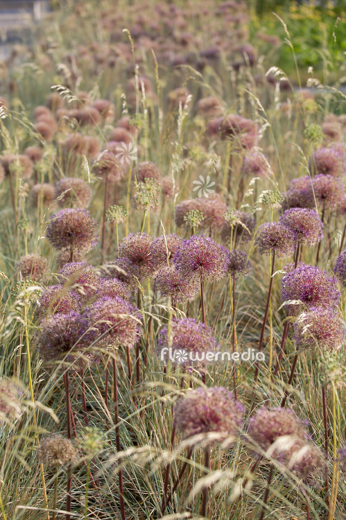 Allium with grasses (112908)
