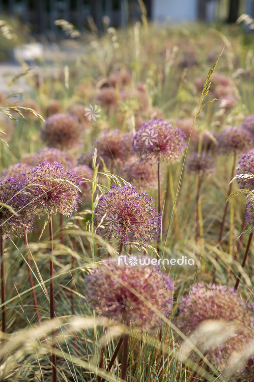 Allium with grasses (112909)