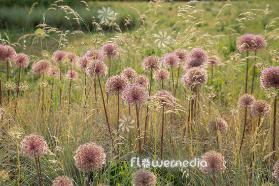 Allium with grasses (112910)