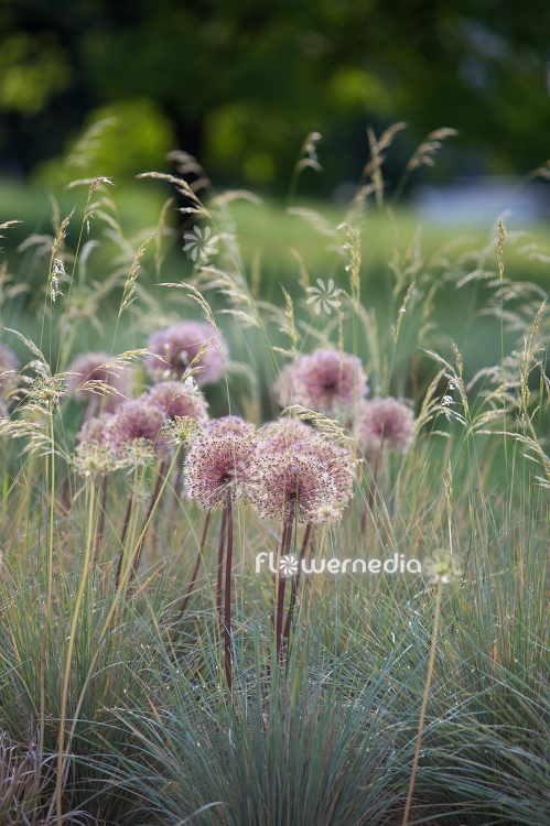 Allium with grasses (112912)