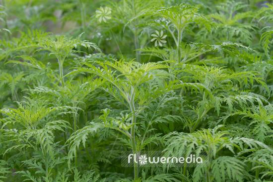Ambrosia Plant Index A Z Flowermedia