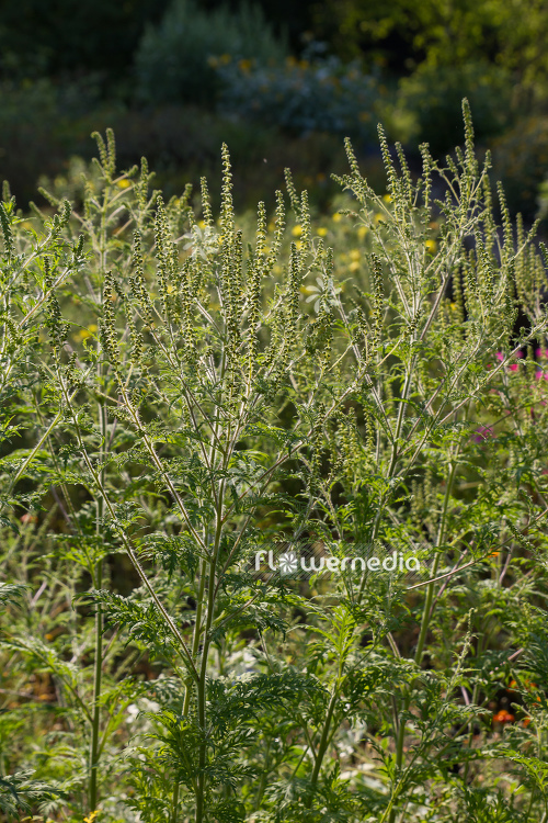 Ambrosia artemisiifolia - Common ragweed (109063)