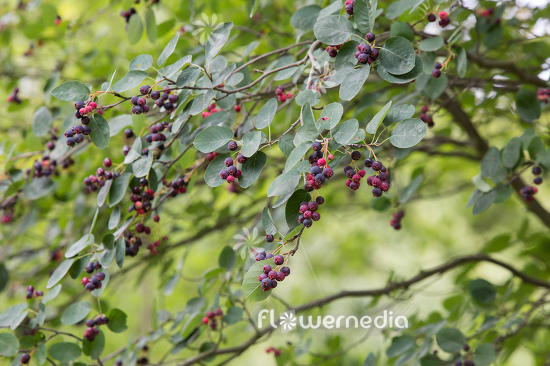Amelanchier asiatica - Korean juneberry (112034)