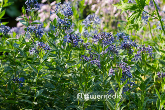 Amsonia ciliata - Eastern blue star (109127)