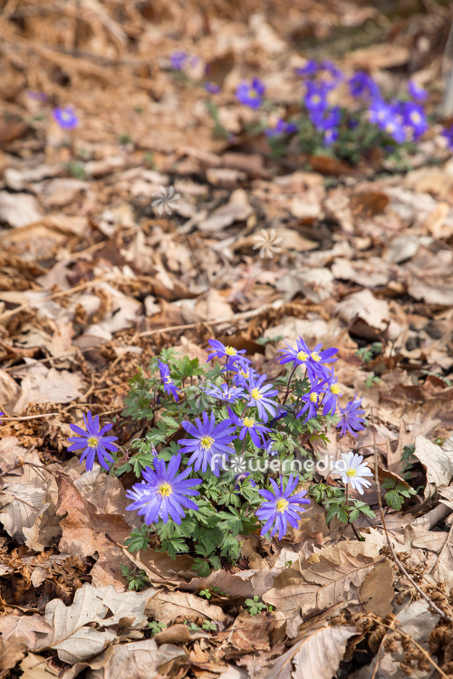 Anemone blanda - Winter windflower | Cultivar (112055)