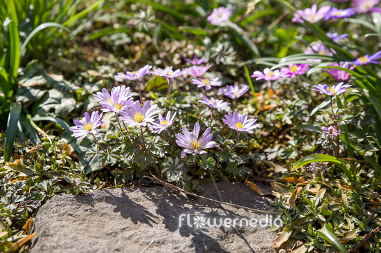 Anemone blanda - Winter windflower | Cultivar (112056)