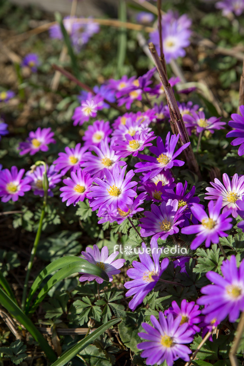 Anemone blanda - Winter windflower | Cultivar (112057)