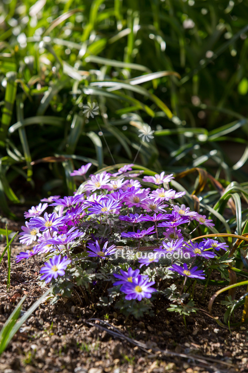 Anemone blanda - Winter windflower | Cultivar (112058)