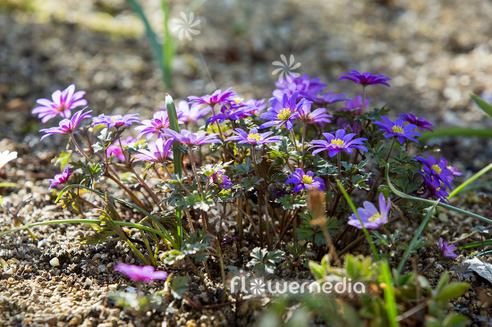 Anemone blanda - Winter windflower | Cultivar (112059)