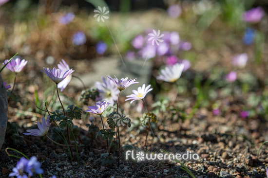 Anemone blanda - Winter windflower | Cultivar (112061)