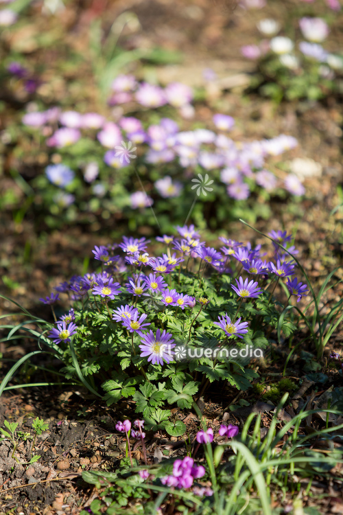 Anemone blanda - Winter windflower | Cultivar (112065)