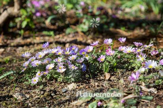 Anemone blanda - Winter windflower | Cultivar (112066)