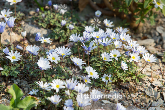 Anemone blanda - Winter windflower | Cultivar (112068)