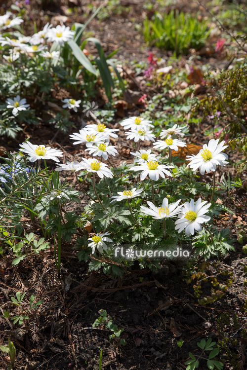 Anemone blanda 'White Splendour' - White-flowered winter windflower (112069)