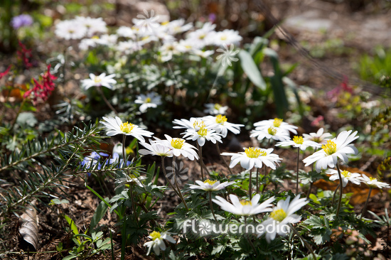 Anemone blanda 'White Splendour' - White-flowered winter windflower (112070)