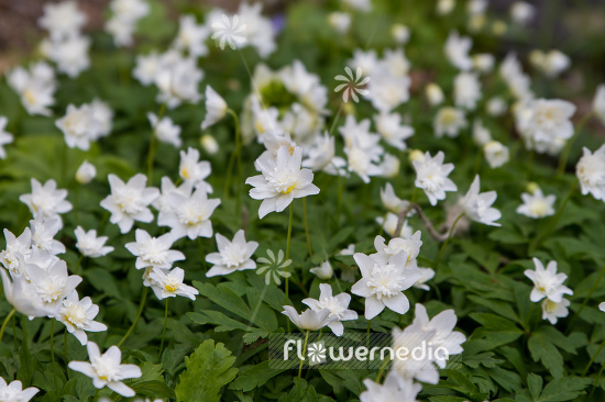 Anemone nemorosa 'Vestal' - Double-flowered wood anemone (109312)
