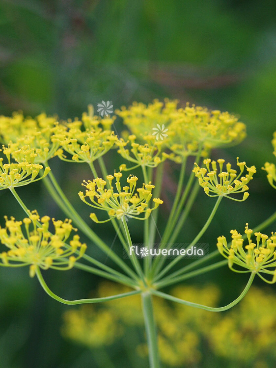 Anethum graveolens - Dill (112107)