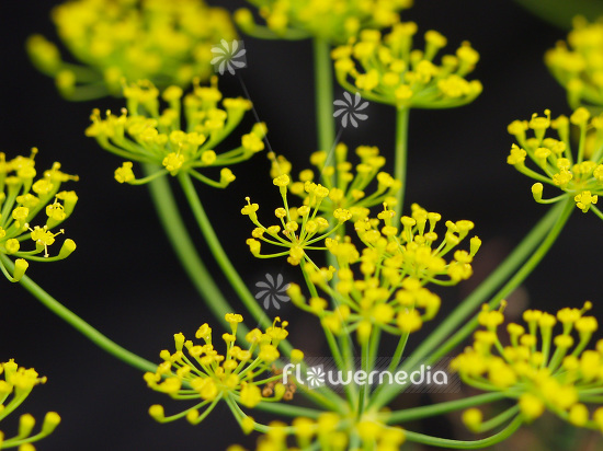 Anethum graveolens - Dill (112109)