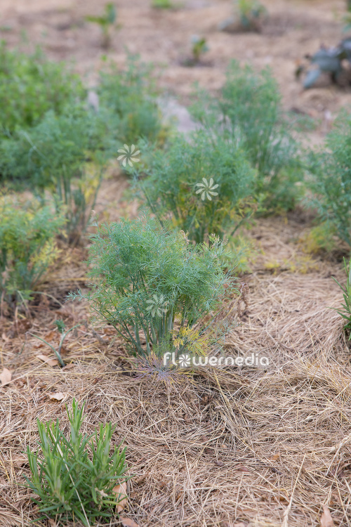 Anethum graveolens - Dill (112183)