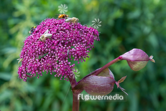 Angelica gigas - Purple angelica (112211)