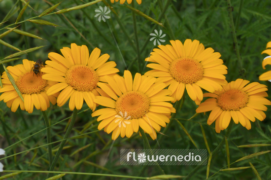 Anthemis sancti-johannis - Orange marguerite (102475)