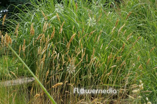 Anthoxanthum odoratum - Sweet vernal grass (112104)