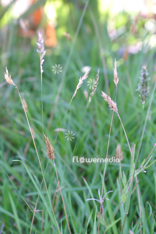 Anthoxanthum odoratum - Sweet vernal grass (112105)