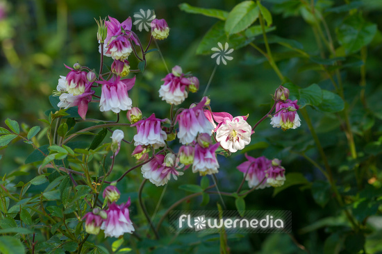 Aquilegia vulgaris 'Winky Double Pink White' - Common columbine (Clementine-Series) (112515)