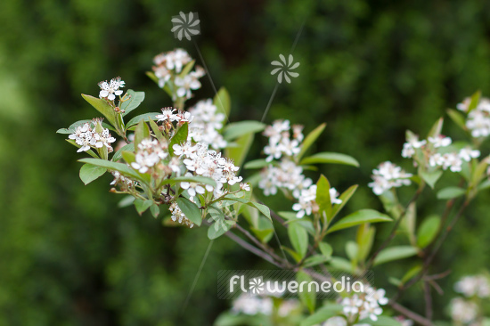 Aronia arbutifolia - Red chokeberry (112525)